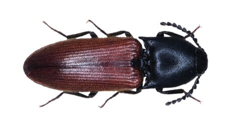 Ampedus Cardinalis