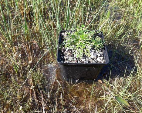Wasserfenchel vor der Auspflanzung im Sinngrund (C. Salomon)