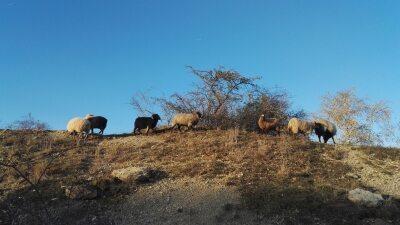 Tierische Landschaftspfleger unterwegs am Bocksberg